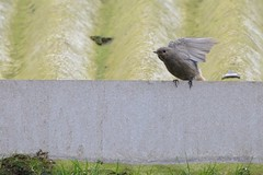 Ready To Go. (stonefaction) Tags: black nature birds scotland angus wildlife montrose redstart explored