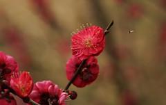 Plum blossom (Kashinkoji) Tags: flower bokeh sony plum slt a77
