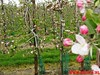 "16-04-2011     Rode-Kruis   Bloesem   wandeltocht 26 Km (21) • <a style=""font-size:0.8em;"" href=""http://www.flickr.com/photos/118469228@N03/16445223700/"" target=""_blank"">View on Flickr</a>"