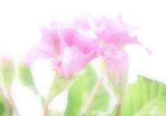 Pink Primroses (haberlea) Tags: pink flowers green home nature pale athome orton primrose ortoneffect primroseprimletpinkshades