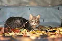 Cat in autumn (luca.boccagni) Tags: autumn cats animals cat colours neko autunno gatto gatti