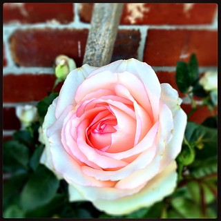 046/365 • Jackie's roses are so happy, she has them growing right across the front of the house and they are just sublime • #046_2015 #roses #garden #housesitting #nofixedaddress #blooming #petals #morningtonpeninsula #hastings #pink