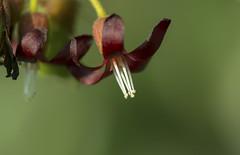 বিলম্বি ফুল (Hasnayen Faisal) Tags: bangladesh oxalidaceae bilimbi averrhoabilimbi