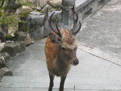 Tame Deer of Miyajima