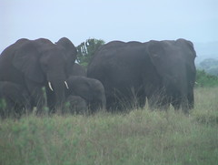 Elephants QENP