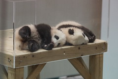89-day-old Ouhin () and Touhin () 2015-03-01 (kuromimi64) Tags: bear japan zoo twins panda giantpanda wakayama  shirahama    adventureworld         touhin  ouhin