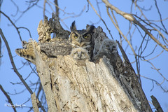 Great horned owl mama with two owlets, Lone Tree, Iowa [4658] (cl.lin) Tags: nature nikon midwest wildlife birding iowa owl owls lonetree greathornedowl owlet greathornedowls owlets