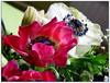 Amorous Anemone (swetlanahasenjäger) Tags: ngc topshots exquisiteflowers flickrflorescloseupmacros flowerarebeautiful thebestofmimamorsgroups greatshotss coth5 mixofflowers esenciadelanaturaleza frommetoyouwithlove magicmomentsinyourlifelevel2