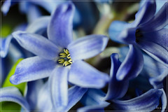 1502.22220820.E-M5MarkII (g.l@m) Tags: olympus hyacinthus orientalis  em5ii contaxcarlzeissmakroplanart60mmf28