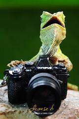Lizard the photographer (dianseh) Tags: nature animals indonesia keychain olympus lizard omd em5 kadal javanhumpheadlizard mzd1250mm