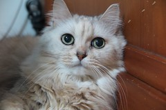 Mimi (candyz0416) Tags: cats mimi 125625mm cats2015