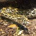 Nashville Zoo 08-27-2014 - Mexican Lance-Headed Rattlesnake 2