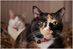 My Cats (kcezary) Tags: cats canada cat canon chat gato alberta   canoneflens  canonprimelens mylensdb canonef28mmf28isusm