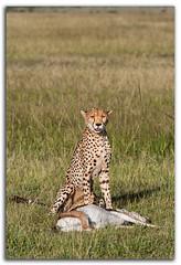 Cheetah WT5U1736 (David Whistlecraft) Tags: africa kenya cheetah masaimara acinonyxjubatus cheetahwithprey