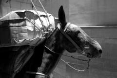 Balak! (marianovsky) Tags: morocco fez mule balak marketmedinaloadcargomarruecosmulatransporte