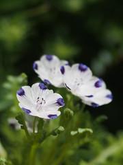 (Polotaro) Tags: flower nature pen garden olympus    7    mzuikodigital45mmf18 epm2