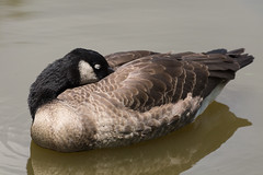 Sleeping Goose (Scott Alan McClurg) Tags: life wild summer portrait canada bird nature water animal swimming swim geese nap sleep slumber wildlife goose neighborhood wetlands snooze suburbs waterfowl canadagoose canadageese waterbirds naturephotography branta anserinae anserini bcanadensis