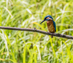 9Q6A2588 (2) (Alinbidford) Tags: heron kingfisher muteswan moorhen greyheron brandonmarsh alancurtis pairofkingfishers alinbidford