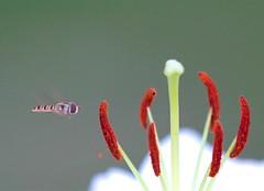 mouche... (valerierodriguez1) Tags: insecte mouche lys vol exterieur outside summer spring t printemps fly canon eos 7d