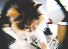 Curiosity (mayaillusions) Tags: closeup cat kitty fluffy calico curious diopter sonyalpha sonya7