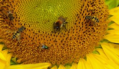 They all love this sunflower (joeke pieters) Tags: 1290093 panasonicdmcfz150 zonnebloem sunflower insekten insects geel yellow bloem flower ngc platinumheartaward npc