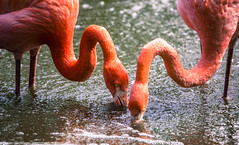 Thirsty Flamingos (Ian Betley Photography) Tags: water zoo drink flamingo flamingos chester refreshing thirsty