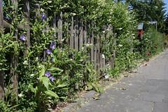 ckuchem-3600 (christine_kuchem) Tags: blte brgersteig garten gehweg glockenblumen hecke liguster naturgarten spontanwegetation zaun naturnah natrlich