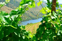 between the vines (ekelly80) Tags: portugal june2016 summer vilanovadefozca guarda casadorio quintadovallado wine winecountry dourovalley douroriver beautiful scenery view mountains hills valley vines vineyard green leaves river water light sun wire
