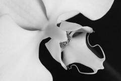 Phalaenopsis Orchid (Evelyn Ford) Tags: phalaenopsis orchid macro blackandwhite flower exotic macromondays flowersinblackandwhite petals ef100mmf28lmacroisusm canoneos5dmarkii wow