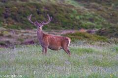 Red Deer Stag Near The Aultguish Inn Near Loch Glascarnoch A835 Scotland - jpeg (9 of 20) (sean@bradford) Tags: scotland highlands stag wildlife deer reddeer wildlifenature lochglascarnoch reddeerstag