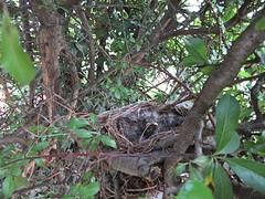 IMG_1203_Fotor01 (Ela's Zeichnungen und Fotografie) Tags: baby nest natur hannover tier vogel busch kcken