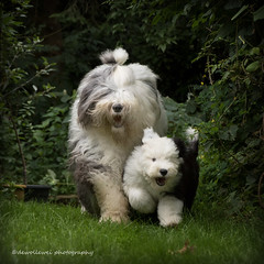 "Jason and Amy ""explore "" (dewollewei) Tags: old english dogs puppy sheepdog adorable running run explore pup bobtail oes oldenglishsheepdog oldenglishsheepdogs dewollewei oldenglishsheepdogsworldwide oldenglishsheepsdog canon7dmark2 wickedwisdoms"