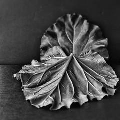 rhubarb leaves (Wendy:) Tags: lowkey leaves rhubarb mono niksilvereffectspro tiltshift hmbt odc leaf