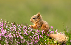 Eekhoorn / Red squirrel / cureuil (Gladys Klip) Tags: eekhoorn redsquirrel cureuil explore
