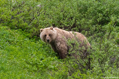 Grizzly Bear (PrachiVerma) Tags: alaska denali national park wildlife wilderness bear grizzly wild life wataching