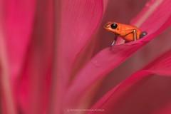 Rana Blue Jean (Rodrigo Moraga Z.) Tags: costarica frogs natphoto bluejean photography photo wildlife naturaleza nature