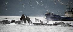 A Whale mass (Gillfoto) Tags: whale humpback alaska juneau feeding bubblenet