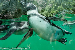 DSC_2388 (Pascal Gianoli) Tags: beauval manchot penguin pingouin zoo zooparc saintaignansurcher centrevaldeloire france fr pascal gianoli pascalgianoli