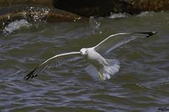 Ring-Billerd Gull_0177 (Kerry. Williams - Amateur) Tags: ringbilledgull gulls manitoba lakewinnipeg canada