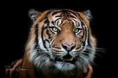 Sumatran tiger (David Whelan Photography) Tags: sumatrantiger tiger bigcat