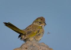 Food? (Happy Photographer) Tags: bird bug fly fledgling greentailedtowhee towhee wild young grandmesa colorado amyhudechek
