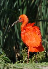 Rode Ibis (ditmaliepaard) Tags: rodeibis vogel bird dierenrijk hilvarenbeek a6000 sony