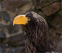 Volerie Des Aigles (IzabelaWinter) Tags: voleriedesaigles eagel adler geier vogelpark