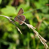 közönséges boglárka / Common Blue0007 (debreczeniemoke) Tags: nyár summer rét meadow rovarok insecta lepke pillangó butterfly közönségesboglárka nőstény commonblue female argusbleu azurécommun azurédelabugrane hauhechelbläuling icaro polyommatusicarus boglárkalepkék lycaenidae olympusem5