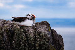 The Atlantic Puffin on the Isle of May, Scotland (www.ziggywellens.com) Tags: puffin parrot bird wild wildlife birding animal outdoor isle may scotland greatbritain