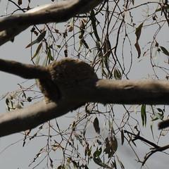 Corcorax melanorhamphos, nest (Diana Padrn) Tags: whitewinged chough corcorax melanorhamphos victoria australia bird birds wildlife nature naturaleza warbyovens national park