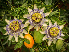 Passion Flower (niloc's pic's) Tags: passionflower passiflora flower fruit bexhillonsea eastsussex panasonic lumix dmcgx7