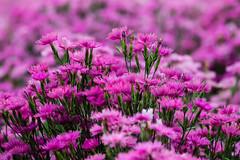 Dianthus (Role Bigler) Tags: blume blumenfelder canonef70200lisusm canoneos5dsr dianthus flowerfields hokkaido japan natur nature nelke nelken nippon biei bokeh bokehlicious flora flower jp