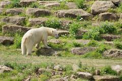 Nobby (Kerry711) Tags: sony a77 alpha 400mm sigma lens nobby polar bear wild yorkshire wildlife park doncaster southyorkshire england