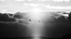Swan pair. (K16mix) Tags: kurihara miyagi japan izunuma swan pair lake snow cloud sunset light nature eaafp ramsarconvention wildlife wildbird sky shaftoflight